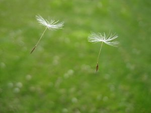 floating dandelion